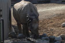 多摩動物公園のクロサイの画像006