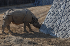 多摩動物公園のクロサイの画像009