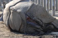 多摩動物公園のクロサイの画像010
