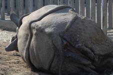 多摩動物公園のクロサイの画像011
