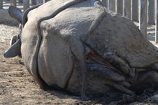 多摩動物公園のクロサイの画像013