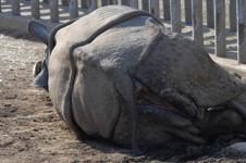 多摩動物公園のクロサイの画像014
