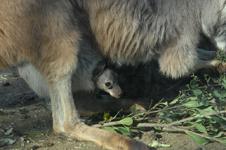 多摩動物公園のワラビーの画像003