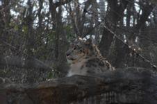 多摩動物公園のヒョウの画像001