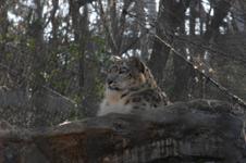 多摩動物公園のヒョウの画像002