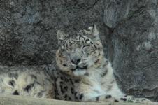 多摩動物公園のヒョウの画像003
