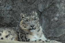 多摩動物公園のヒョウの画像004