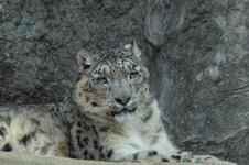 多摩動物公園のヒョウの画像005