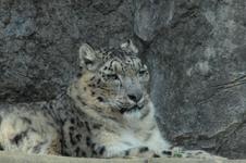 多摩動物公園のヒョウの画像006