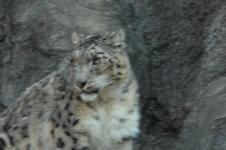多摩動物公園のヒョウの画像008