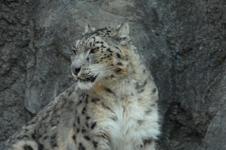 多摩動物公園のヒョウの画像009