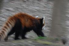 多摩動物公園のレッサーパンダの画像001