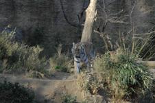 多摩動物公園のトラの画像001