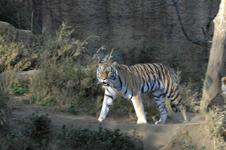 多摩動物公園のトラの画像002