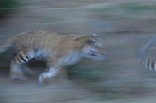 多摩動物公園のトラの画像003