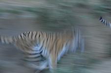 多摩動物公園のトラの画像004