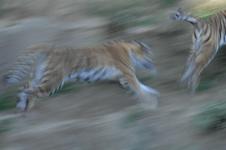 多摩動物公園のトラの画像005
