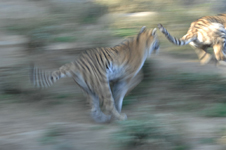 多摩動物公園のトラの画像006