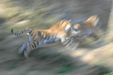 多摩動物公園のトラの画像007