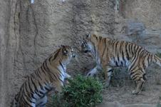 多摩動物公園のトラの画像008