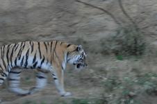 多摩動物公園のトラの画像009