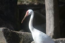 多摩動物公園のソデグロヅルの画像001