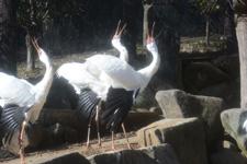 多摩動物公園のソデグロヅルの画像002