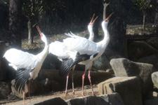 多摩動物公園のソデグロヅルの画像003