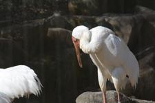 多摩動物公園のソデグロヅルの画像005