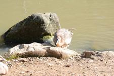 多摩動物公園のサカツラガンの画像003