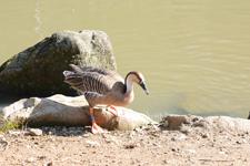 多摩動物公園のサカツラガンの画像004