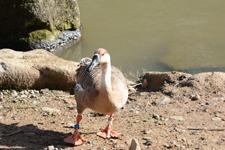 多摩動物公園のサカツラガンの画像005