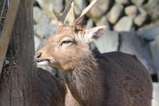 多摩動物公園のニホンシカ
