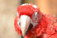 多摩動物公園のベニコンゴウインコの画像001