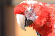 多摩動物公園のベニコンゴウインコの画像002