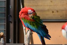 多摩動物公園のベニコンゴウインコの画像003