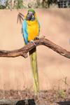 多摩動物公園のルリコンゴウインコの画像001