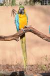 多摩動物公園のルリコンゴウインコの画像002