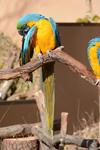 多摩動物公園のルリコンゴウインコの画像003