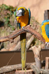 多摩動物公園のルリコンゴウインコの画像004