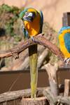 多摩動物公園のルリコンゴウインコの画像005