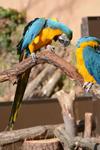 多摩動物公園のルリコンゴウインコの画像006