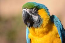 多摩動物公園のルリコンゴウインコの画像007