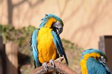 多摩動物公園のルリコンゴウインコの画像009