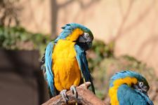 多摩動物公園のルリコンゴウインコの画像010