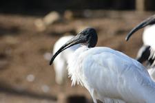 多摩動物公園のクロトキの画像002
