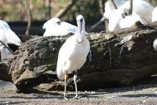 多摩動物公園のベニヘラサギの画像002