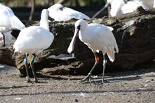 多摩動物公園のベニヘラサギの画像004