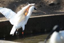 多摩動物公園のベニヘラサギの画像005