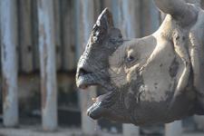 多摩動物公園のインドサイの画像001
